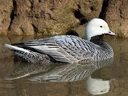 Alaska Emperor goose guides